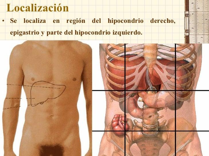 Anatomia higado pancreas bazo y vias biliares for En k parte del cuerpo esta el higado
