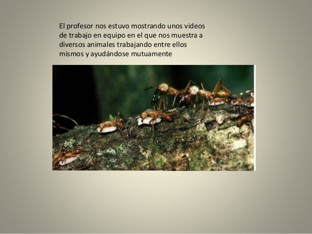 El profesor nos estuvo mostrando unos videos de trabajo en equipo en el que nos muestra a diversos animales trabajando ent...