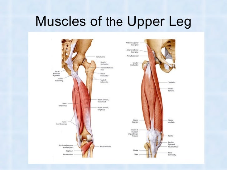 Lower leg muscles anatomy
