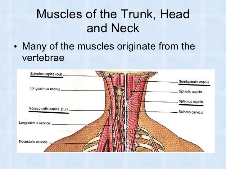 Muscles of The Head Neck And Trunk Muscles of The Trunk Head And