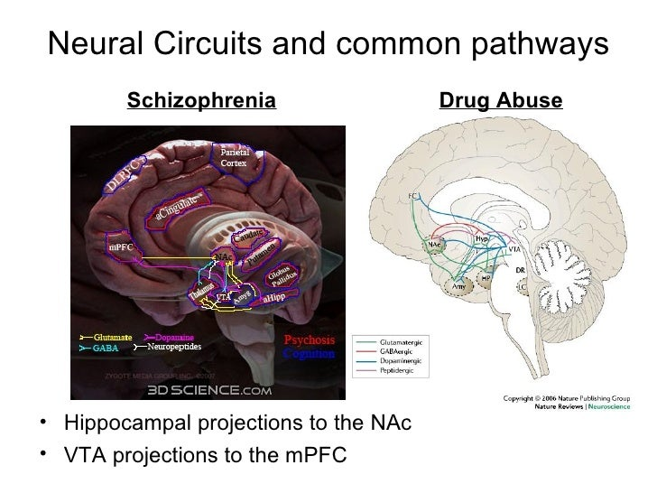 Neural Circuits and common pathways <ul><li>Hippocampal projections to the NAc </li></ul><ul><li>VTA projections to the mP...