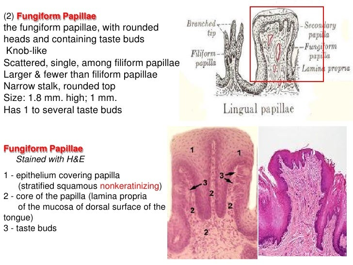 The Papillae 1 The Mucosa Has Numerous Minute Lingual Papillae