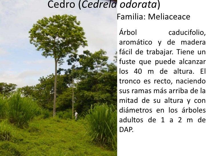 Cedro (Cedrelaodorata)<br />Familia: Meliaceace<br />Árbol caducifolio, aromático y de madera fácil de trabajar. Tiene un ...