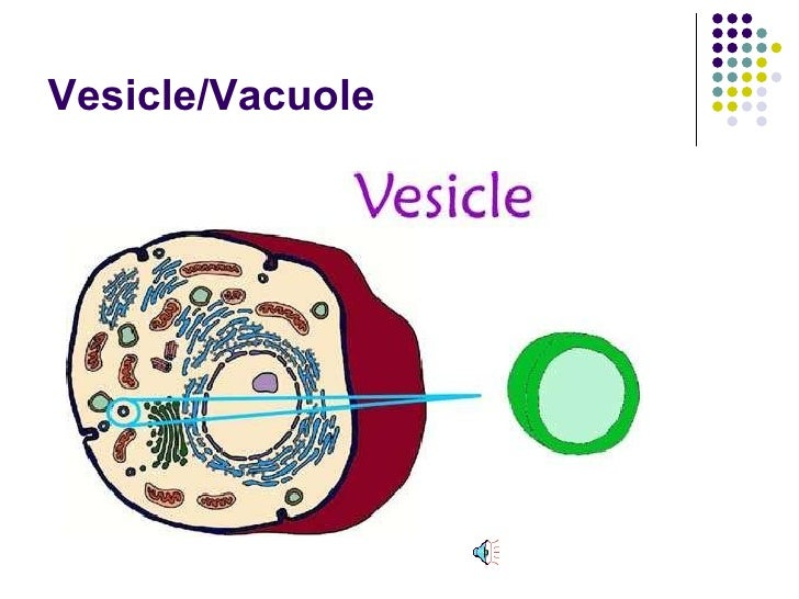 whats the difference between a vesicle and a vacuole ...