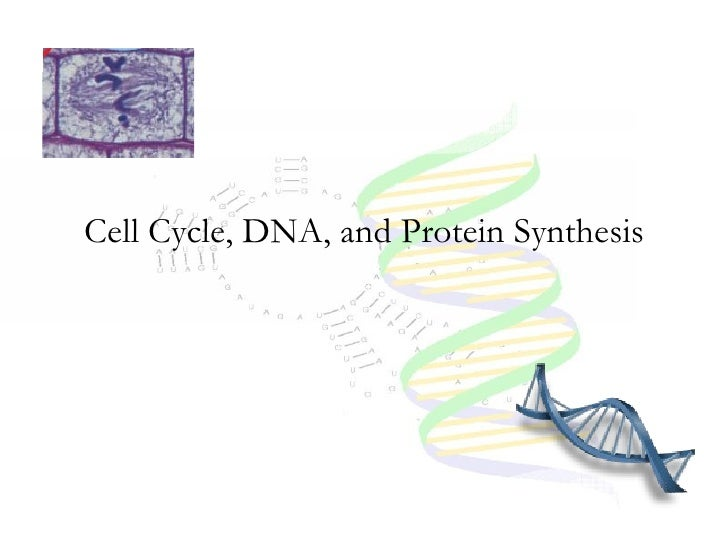 Cell Cycle, DNA, and Protein Synthesis