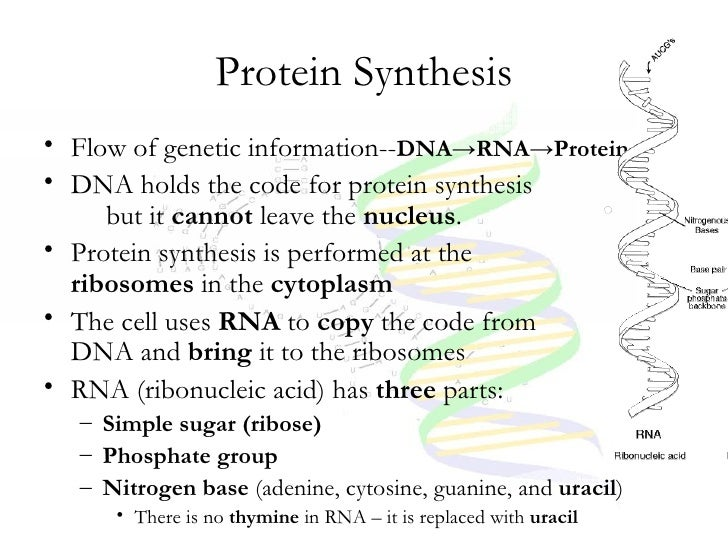 Simple Protein Synthesis Diagram Steps Cell cycle, dna, and protein ...