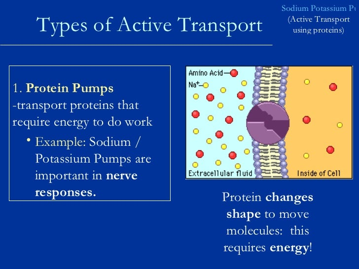 the important things done by cell membrane 70 diffusion and transport across cell membranes ii lipid diffusion: the major means of drug absorption and permeation the rate at which a molecule diffuses across a membrane depends on its.