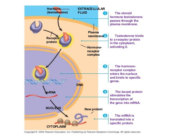 steroid hormones act by binding to receptors that are located where