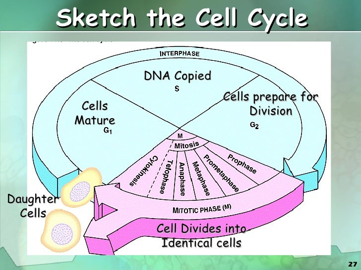 What an animal cell looks like