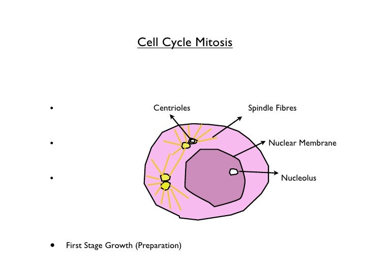 Mitosis cycle flip book mitosis flip book pictures to pin on pinterest