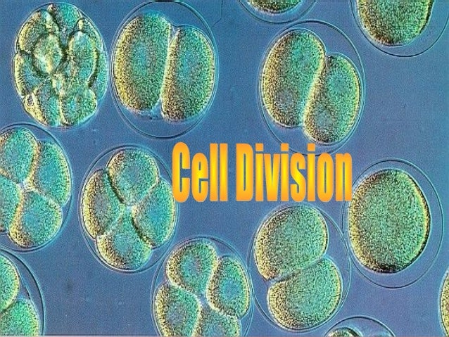 Why do cells need to divide?Why do cells need to divide? o Depends on organismDepends on organism o Unicellular organisms,...
