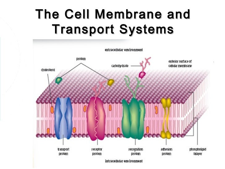 Function of plasma membrane yahoo dating 1