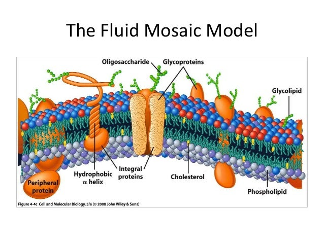 structure and function of plasma membrane in cells essay Cell structure and function essays all living things are made of the same basic building blocks a cell membrane is found in both plant and animal cells.