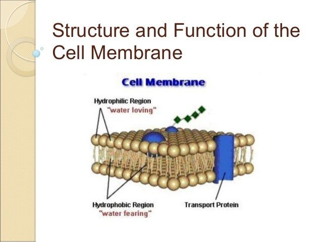 Structure and Function of the Cell Membrane