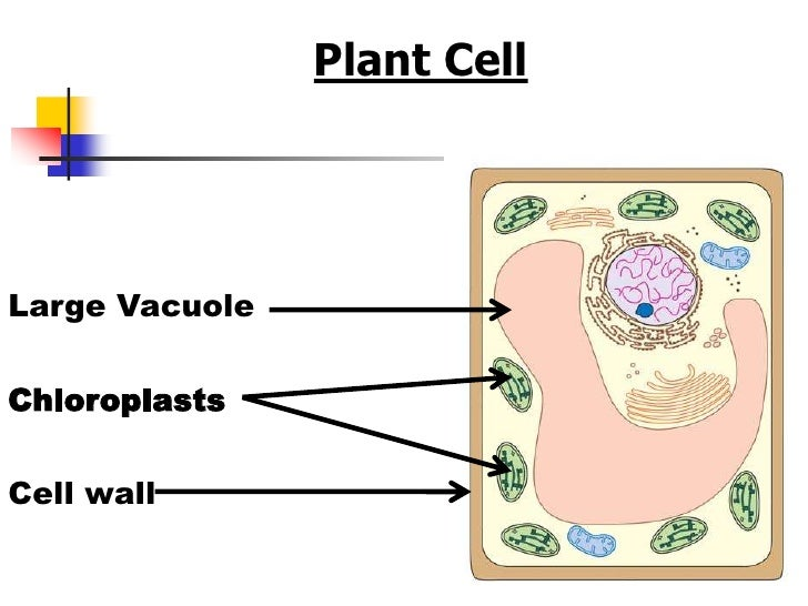Chloroplasts in animal cells