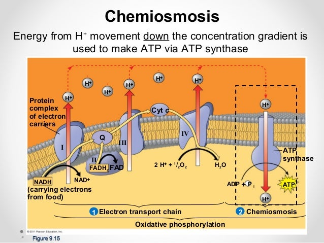 Chemiosmosis atp synthesis worksheet answers