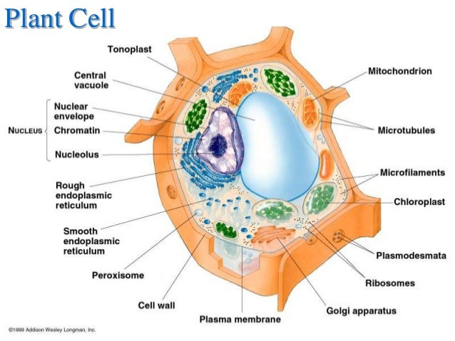 Elodea Cell Shape And an Animal Cell Elodea
