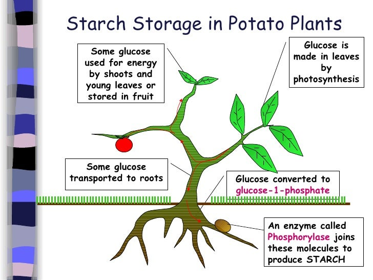 how enzymes in root cells synthesise starch