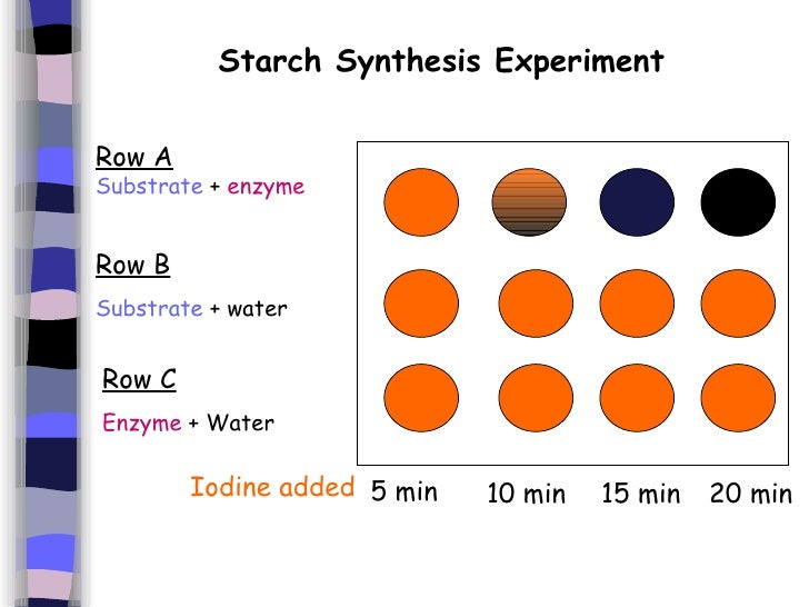 conclusion for amylase lab with starch temperature Students will perform two simple tests, the iodine test for the  acid test for the  appearance of maltose produced from starch by amylase  any conclusions, he  or she must wait until extensive testing has revealed the nature of the   conditions at neutral ph, and temperatures of 37° c enzymes are generally very  specific.
