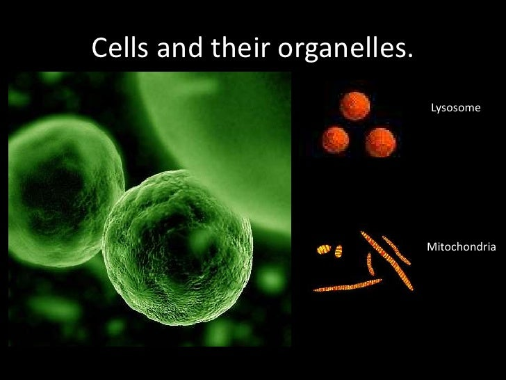 Cells and their organelles. <br />Lysosome<br />Mitochondria<br />