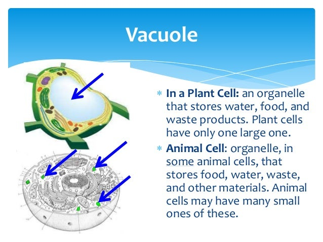 What Organelle Stores Food Water And Waste