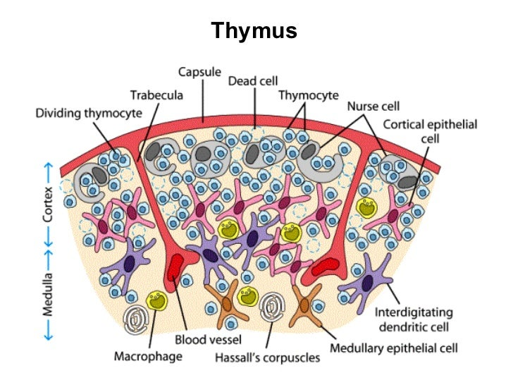 Cells Organs Ofthe Immune System