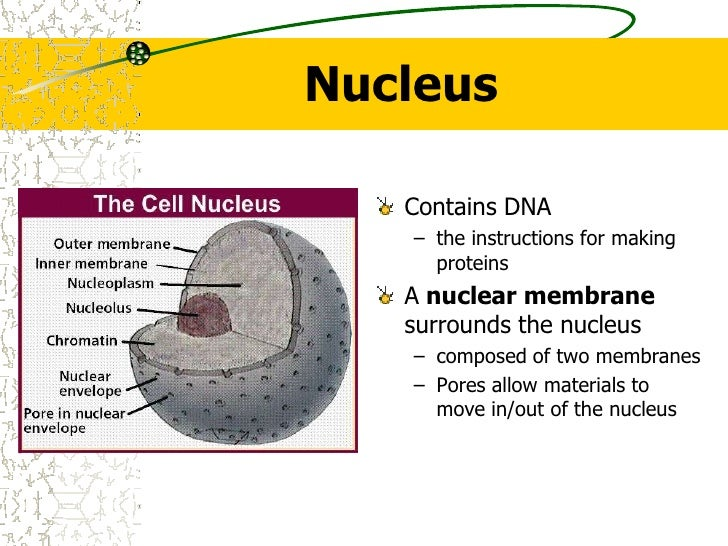Nucleus<br />Contains DNA<br />the instructions for making proteins <br />A nuclear membrane surrounds the nucleus<br />co...