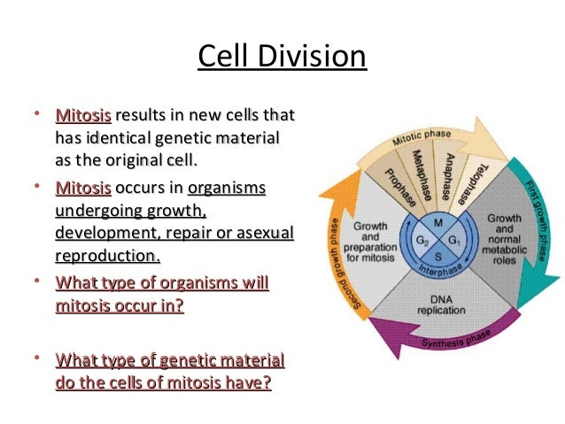 Cells alive cell cycle worksheet whats happening now