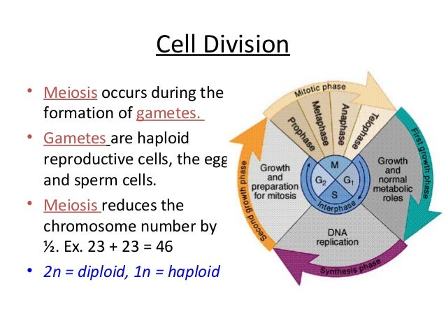 The cell anatomy and division review sheet answers