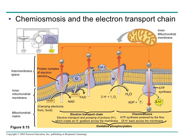 what is the relationship between chemiosmosis and atp synthase