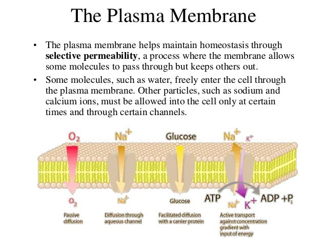what is a membrane essay