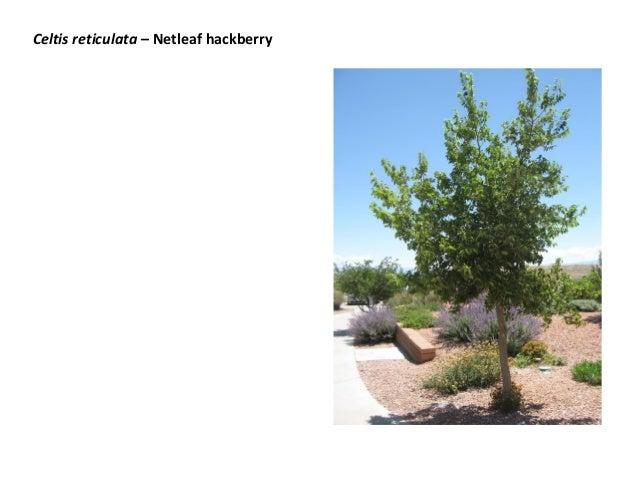 Celtis reticulata – Netleaf hackberry