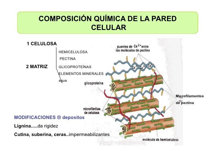 Celula membranas de secrecion for Pared y membrana celular