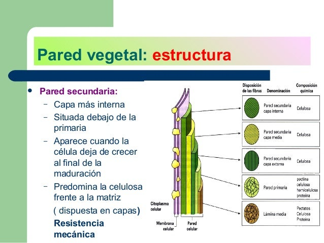 La pared vegetal for Pared y membrana celular