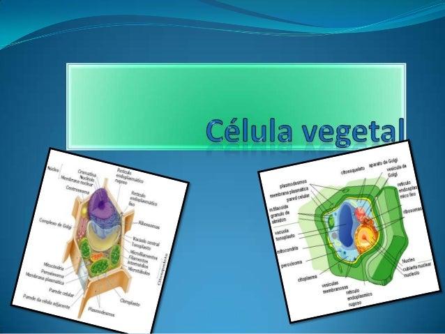 Célula vegetal  La célula vegetal adulta se distingue de otras células eucariotas, como las células típicas de los animale...
