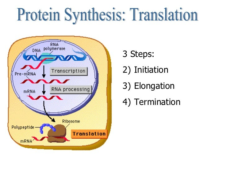 steps of protein sysnthesis Get an answer for 'in the process of protein synthesis, what is the difference between transcription and translation ' and find homework help for other biology , dna, protein synthesis questions at enotes.
