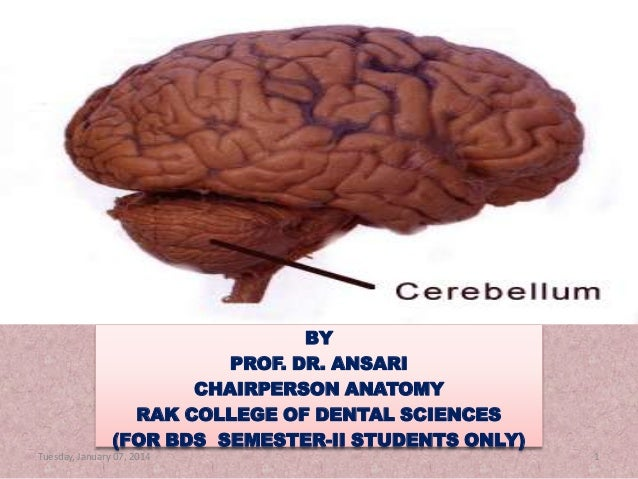 CEREBELLUM  BY PROF. DR. ANSARI CHAIRPERSON ANATOMY RAK COLLEGE OF DENTAL SCIENCES (FOR BDS SEMESTER-II STUDENTS ONLY) Tue...
