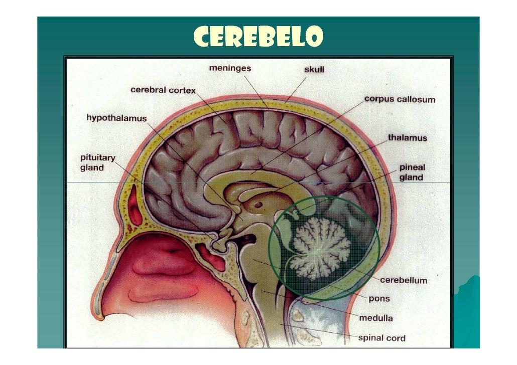 Cerebelo - Anatomía del Sistema Nervioso