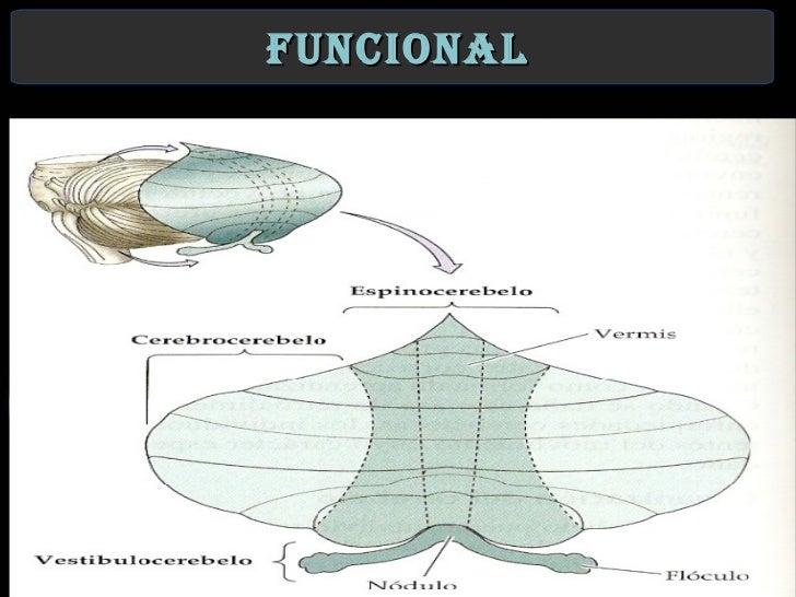 Division filogenetica del cerebelo pdf / La musica segreta dei ...