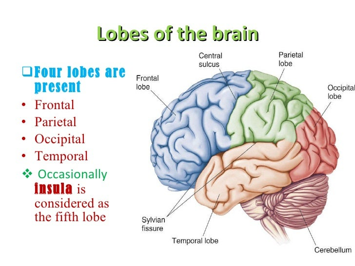 roles of the temporal and frontal The functions of the orbitofrontal the orbitofrontal cortex also receives information about the sight of objects from the temporal lobe frontal cortex in.