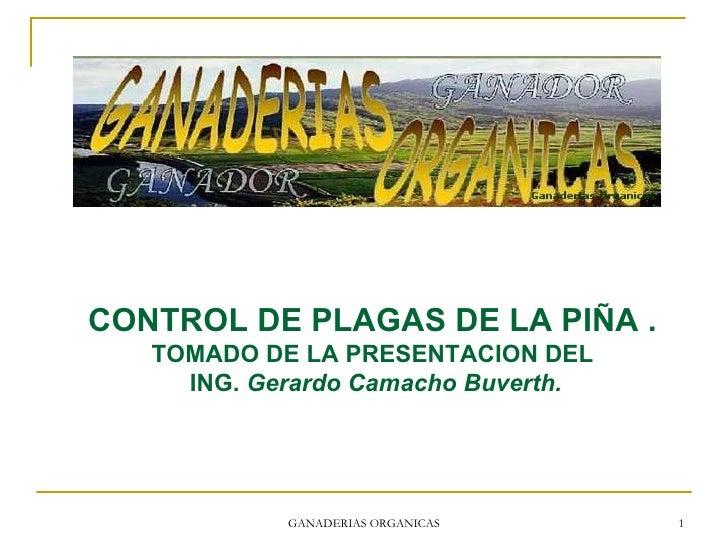 GANADERIAS ORGANICAS CONTROL DE PLAGAS DE LA PIÑA . TOMADO DE LA PRESENTACION DEL ING.  Gerardo Camacho Buverth.