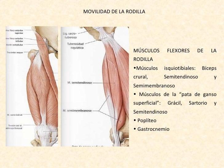 Increíble Anatomía De Los Músculos De La Rodilla Imagen - Anatomía ...