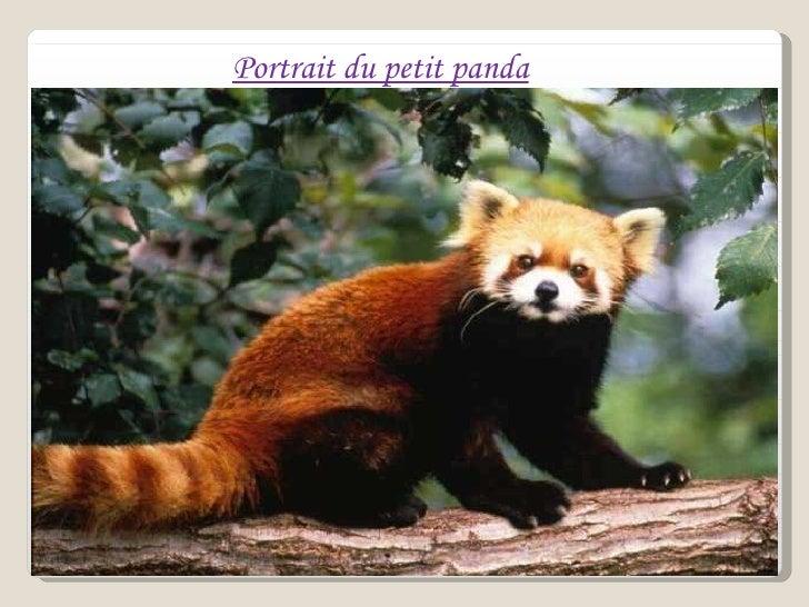 Portrait du petit panda