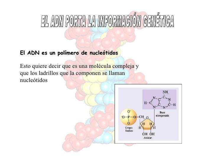 EL ADN PORTA LA INFORMACIÓN GENÉTICA El ADN es un polímero de nucleótidos Esto quiere decir que es una molécula compleja y...