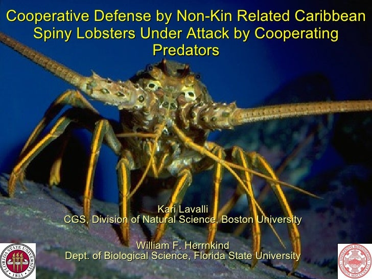Cooperative Defense by Non-Kin Related Caribbean Spiny Lobsters Under Attack by Cooperating Predators Kari Lavalli CGS, Di...