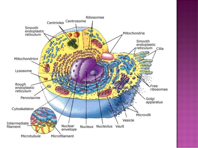 "the anatomy of cells Anatomy (greek anatomē, ""dissection"") is the branch of biology concerned with the study of the structure of organisms and their parts anatomy is a branch of natural science dealing with the structural organization of living things."