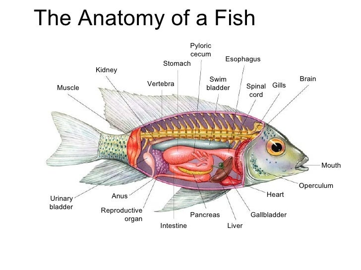 Ch 25 to 27 vertebratesrevised for Do fish have livers