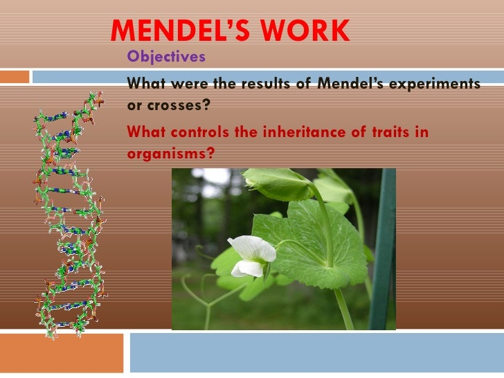 MENDEL'S WORKObjectivesWhat were the results of Mendel's experimentsor crosses?What controls the inheritance of traits ino...