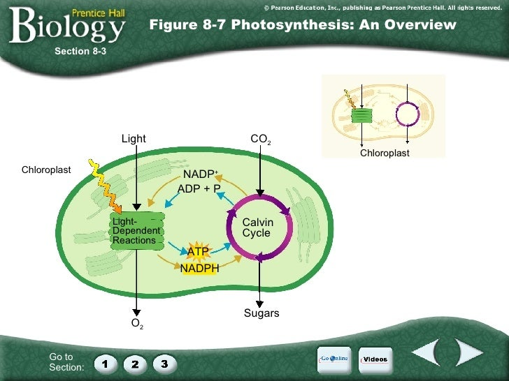 Ch. 8 Photosynthesis