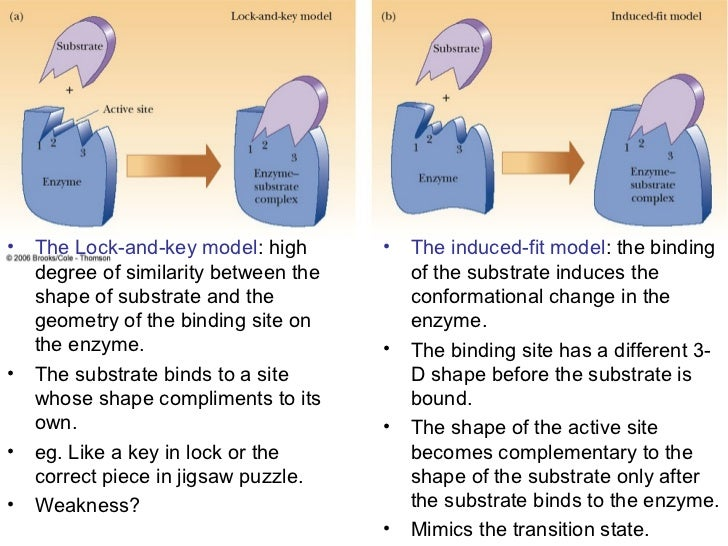 describe the induced fit model of enzyme action also describe at least four factors that modify the